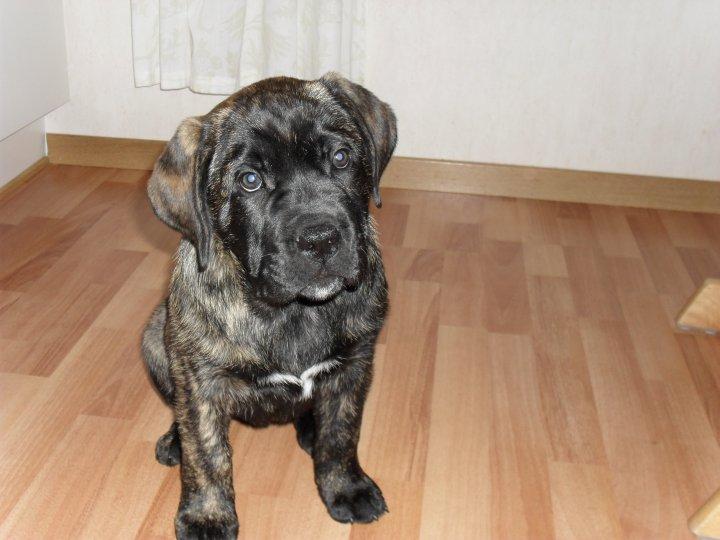 Presa Canario Rottweiler Mix Ajilbabcom Portal Dog Breeds Picture